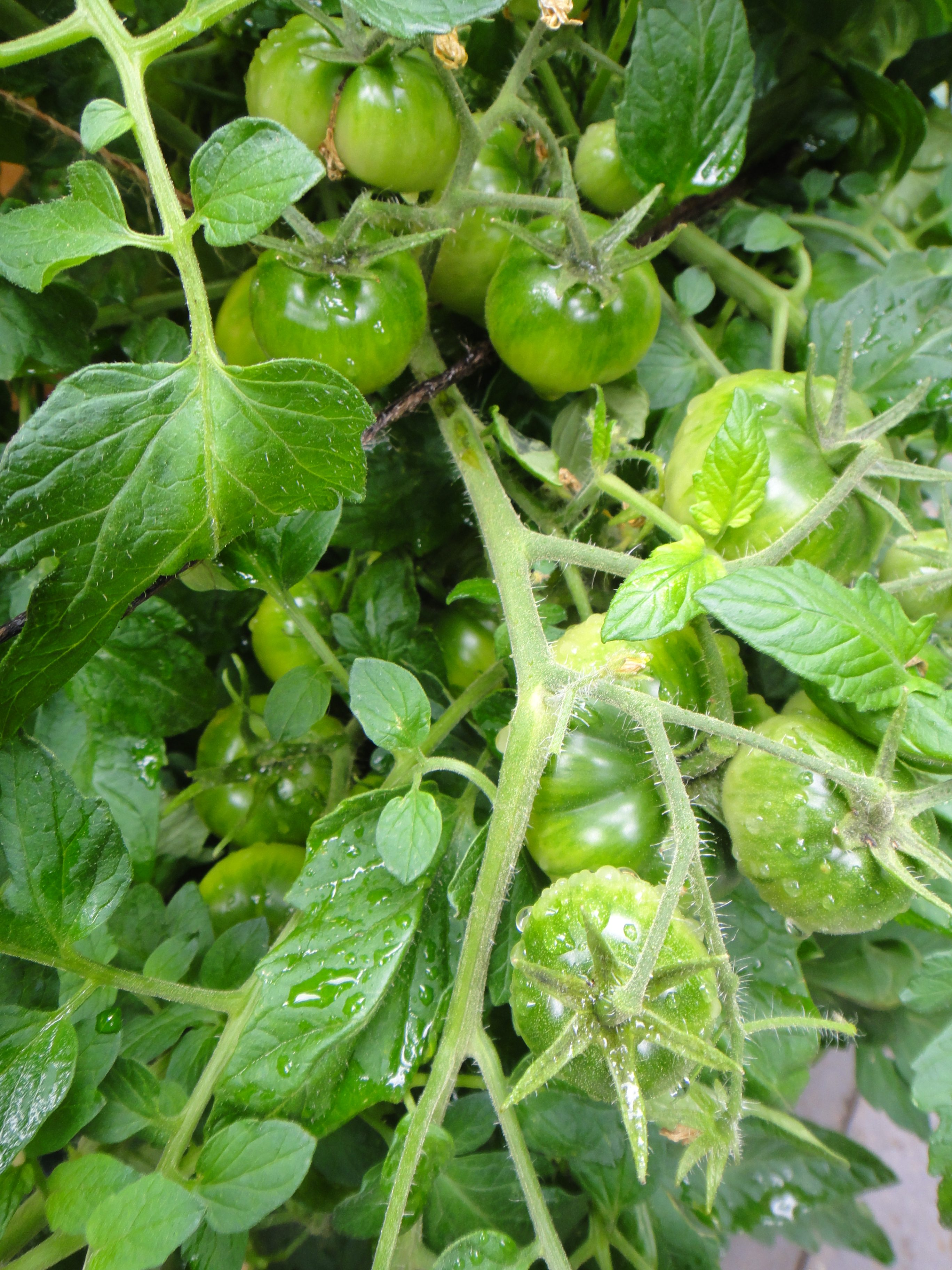 """Urbikany"" green tomatoes"