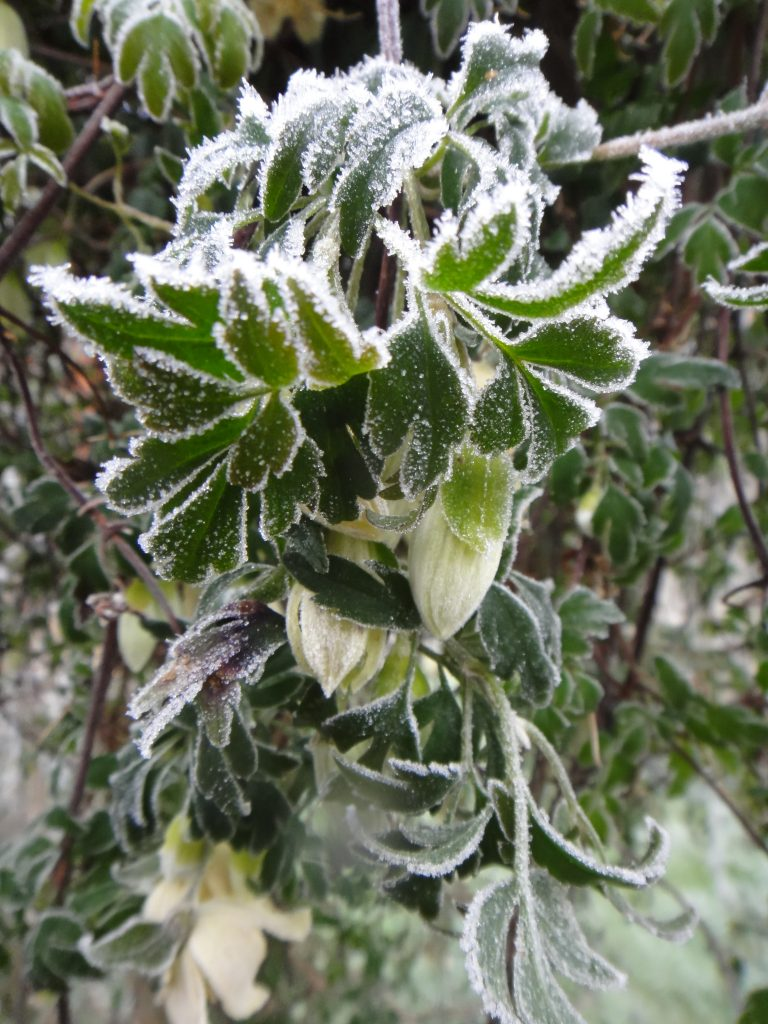 clematis blossoms in a hard frost