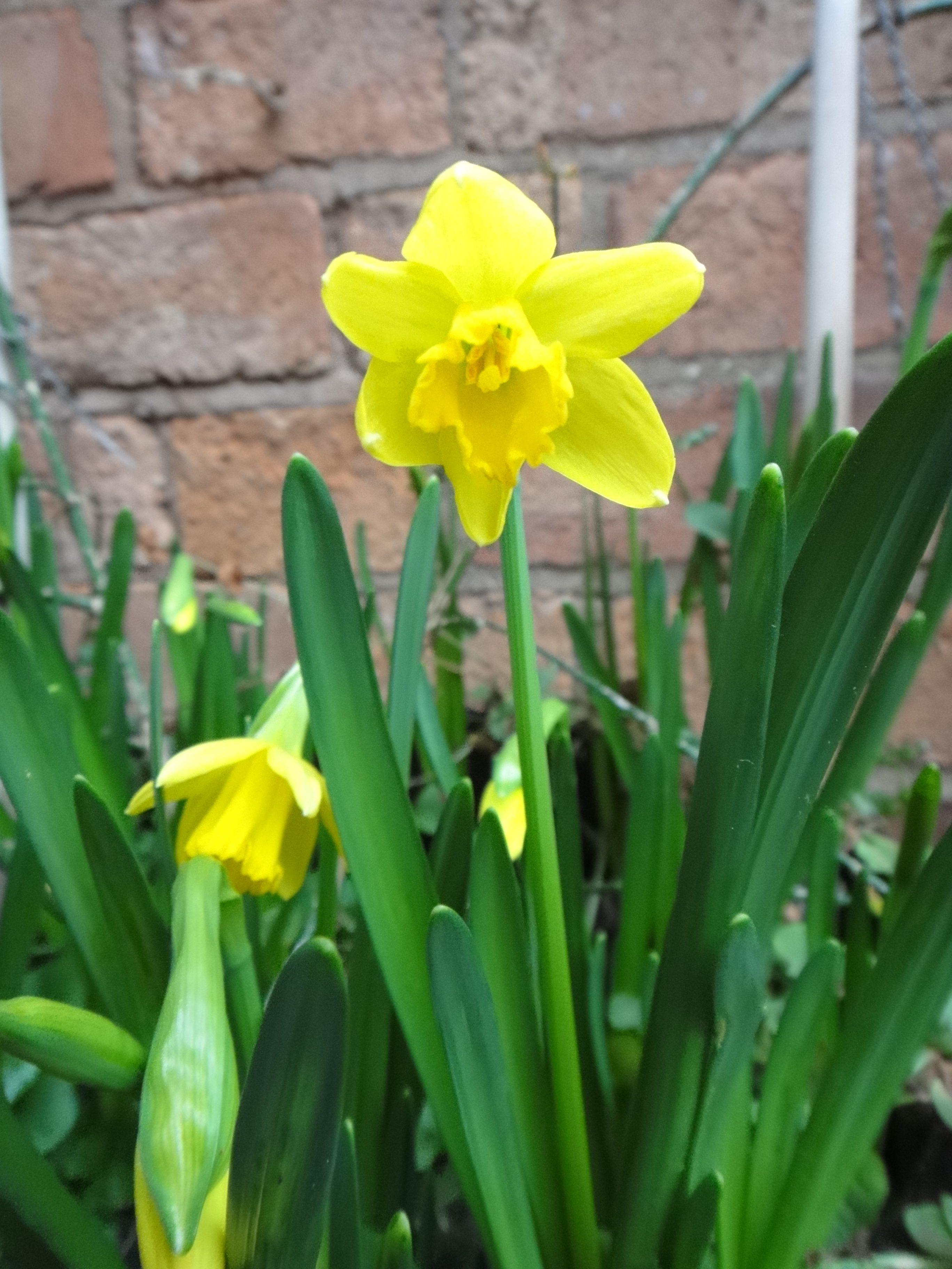 daffodil in medium close-up