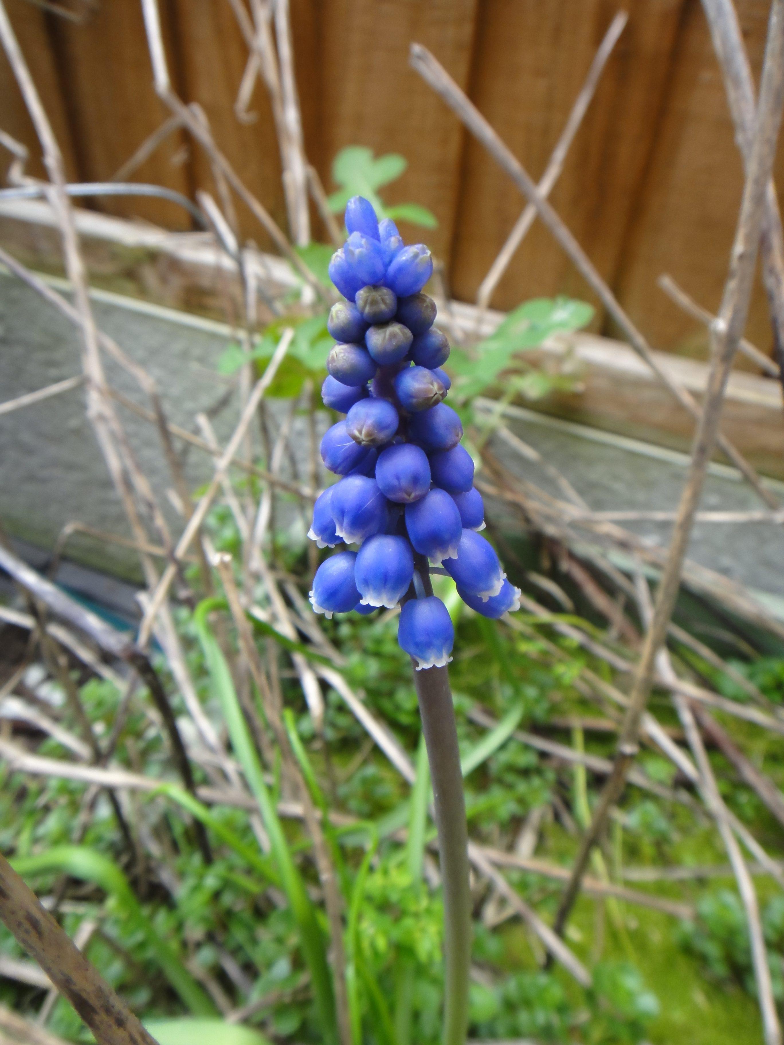 single grape hyacinth