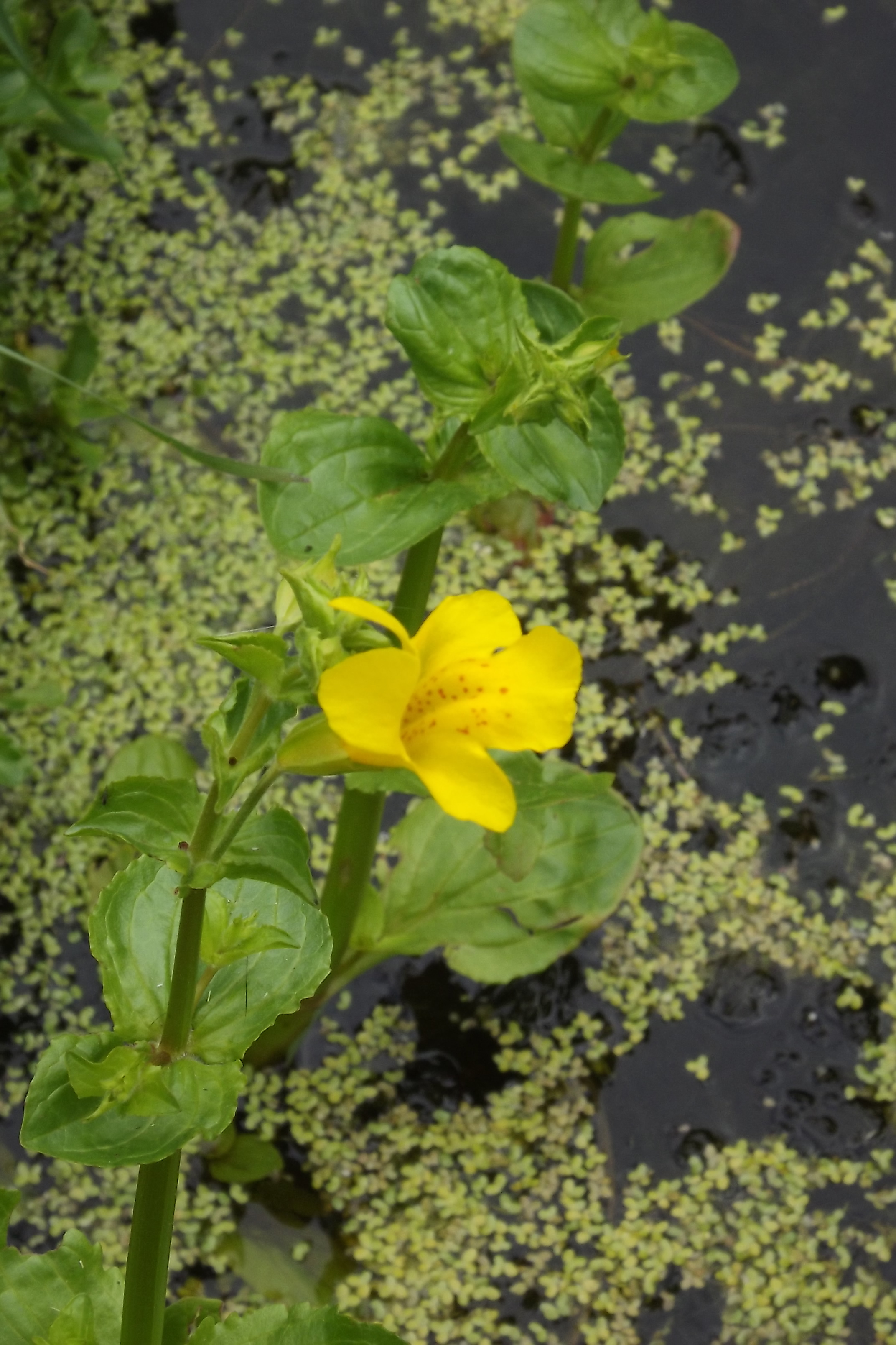 mimulus flower by pond
