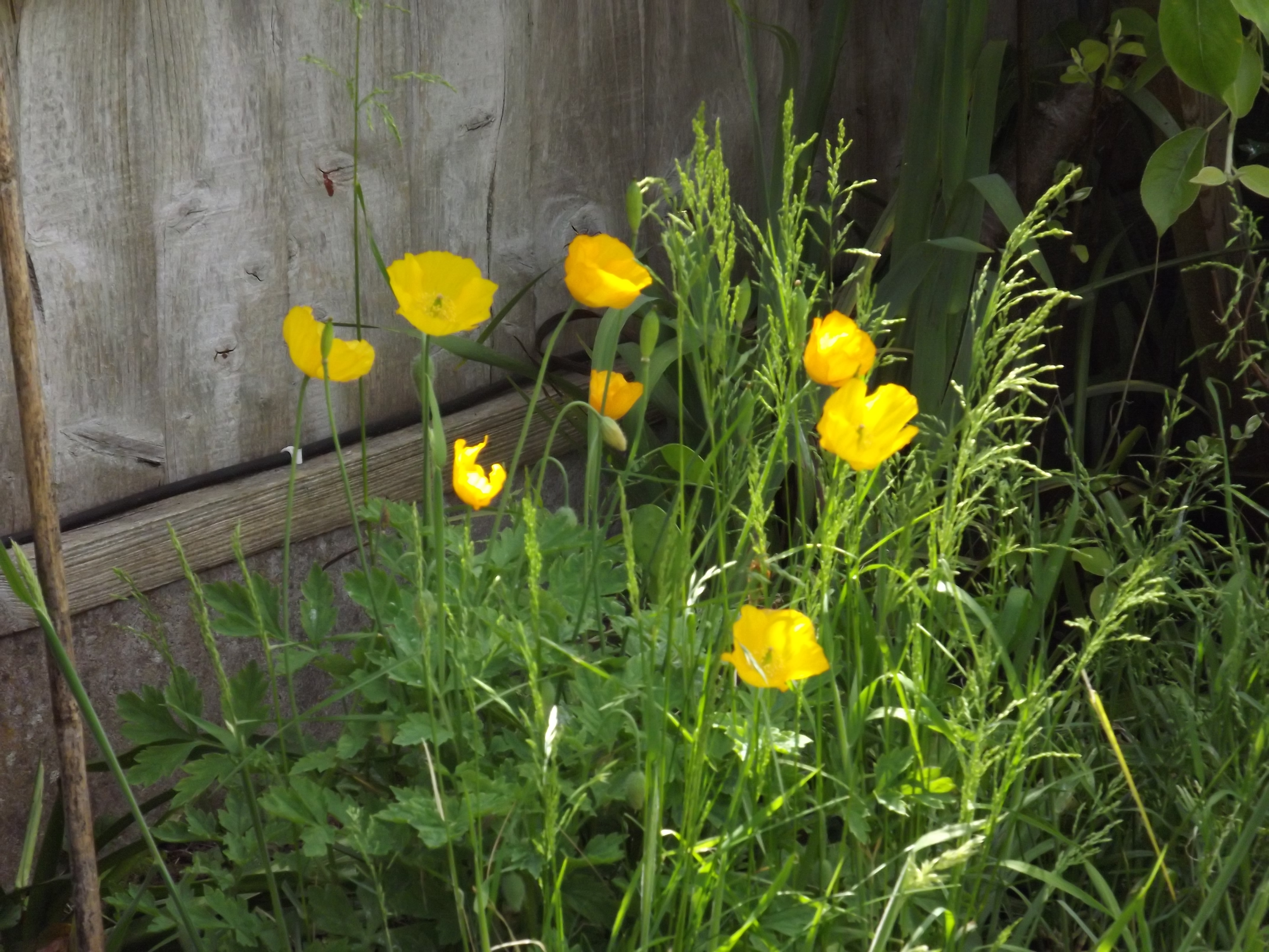clump of Weslh poppies