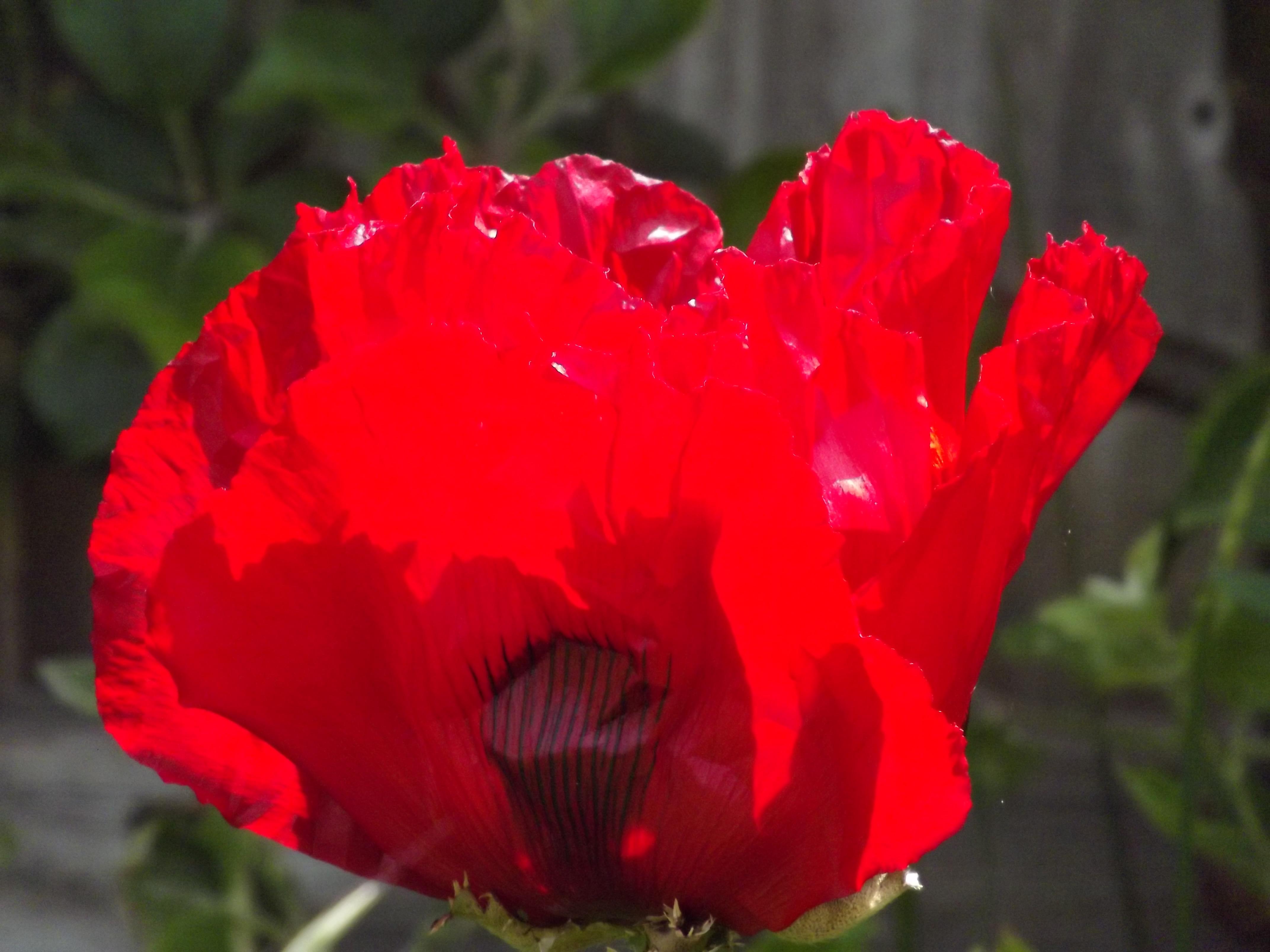 oriental poppy in closeup