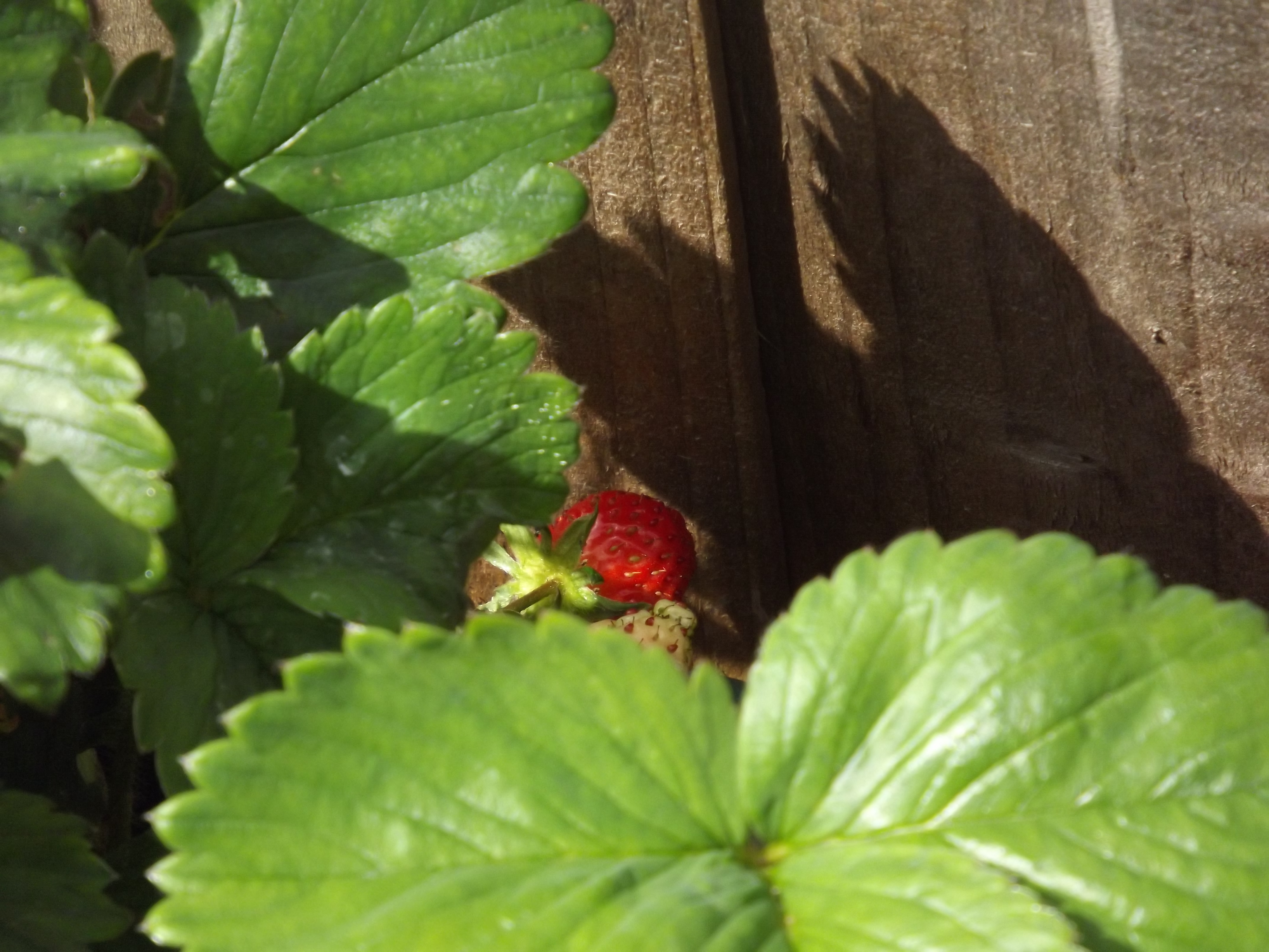 strawberry lurking among leaves