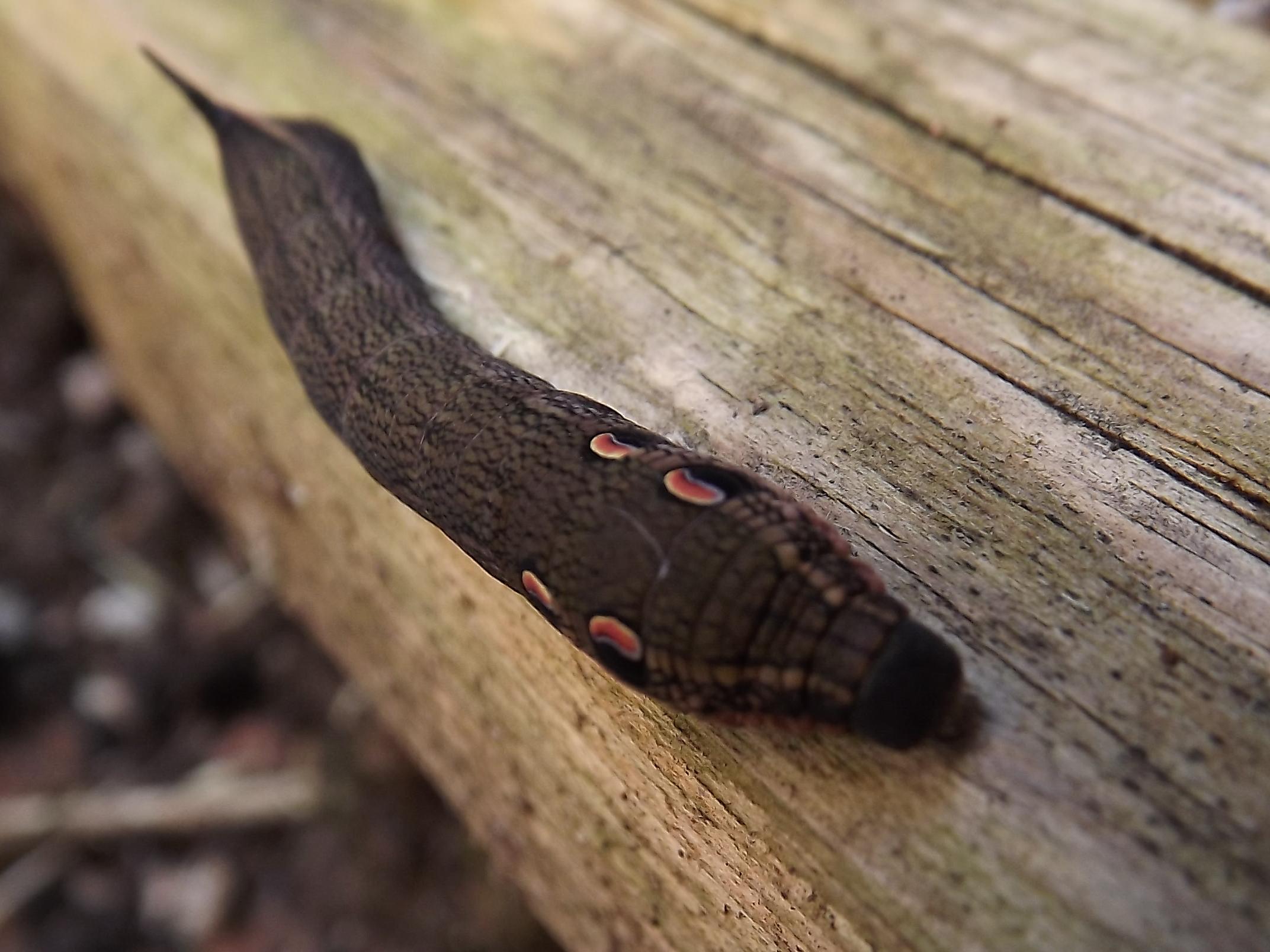 large caterpillar