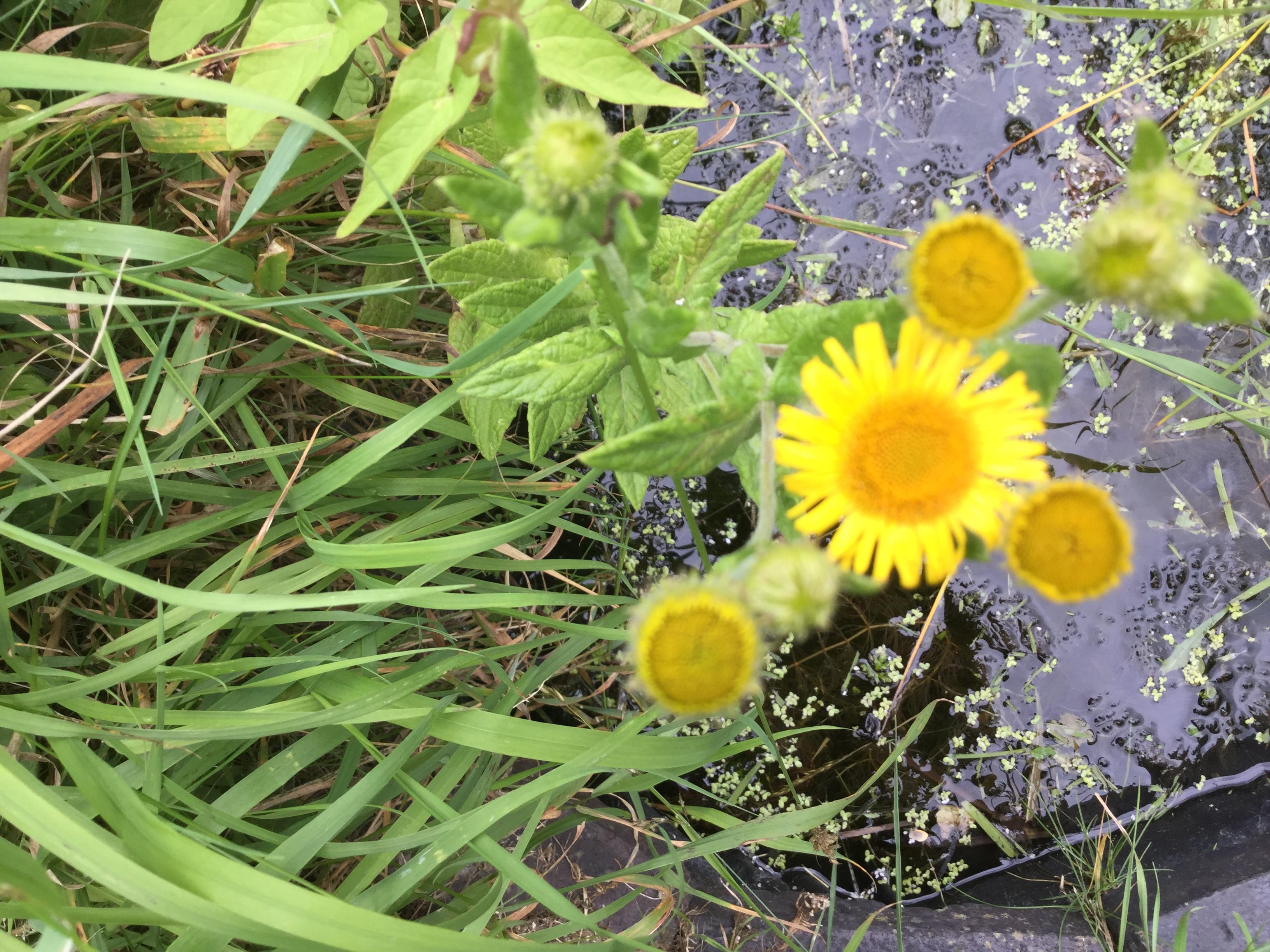 common fleabane flower