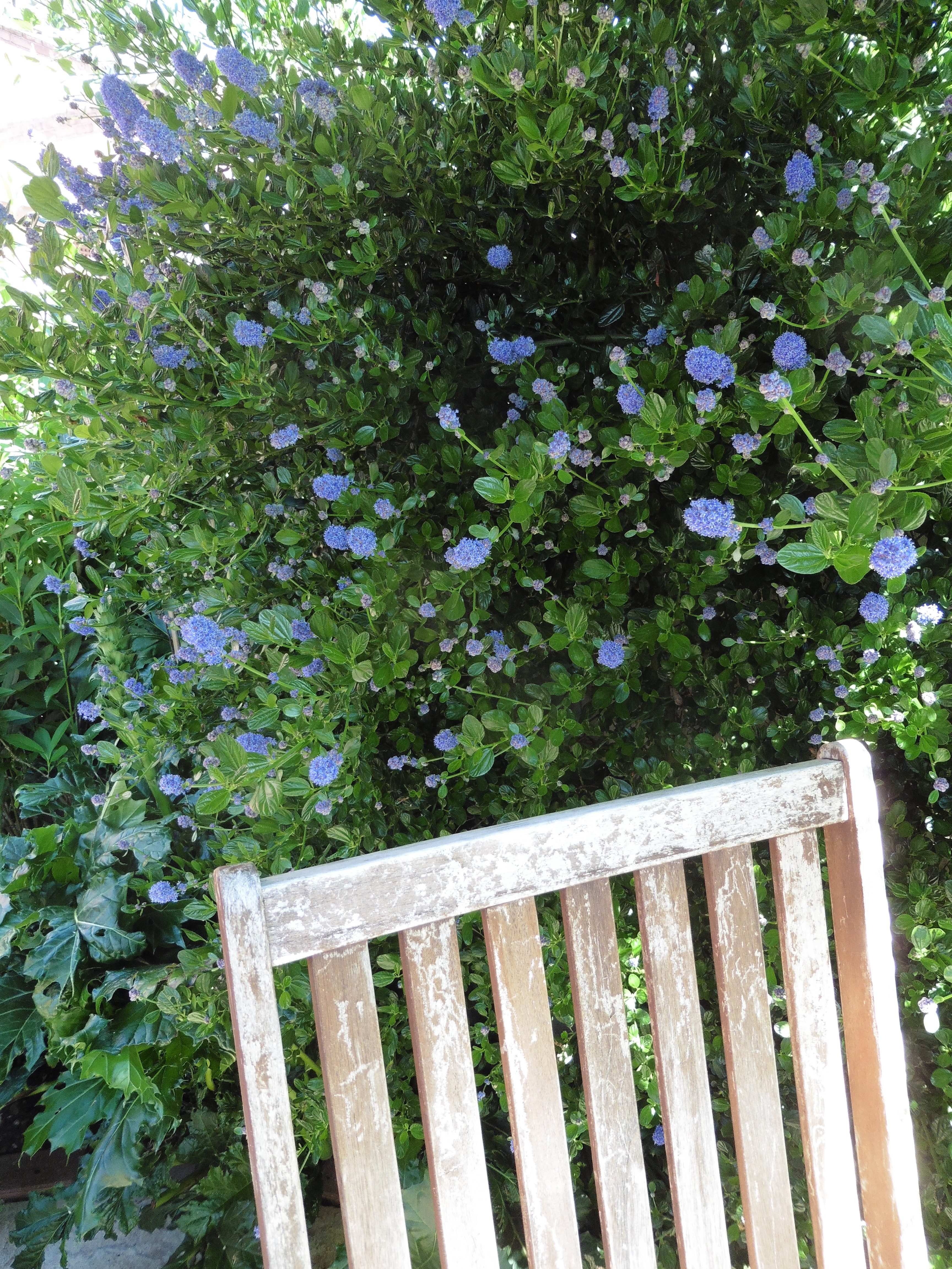blooming ceanothus, and chair back