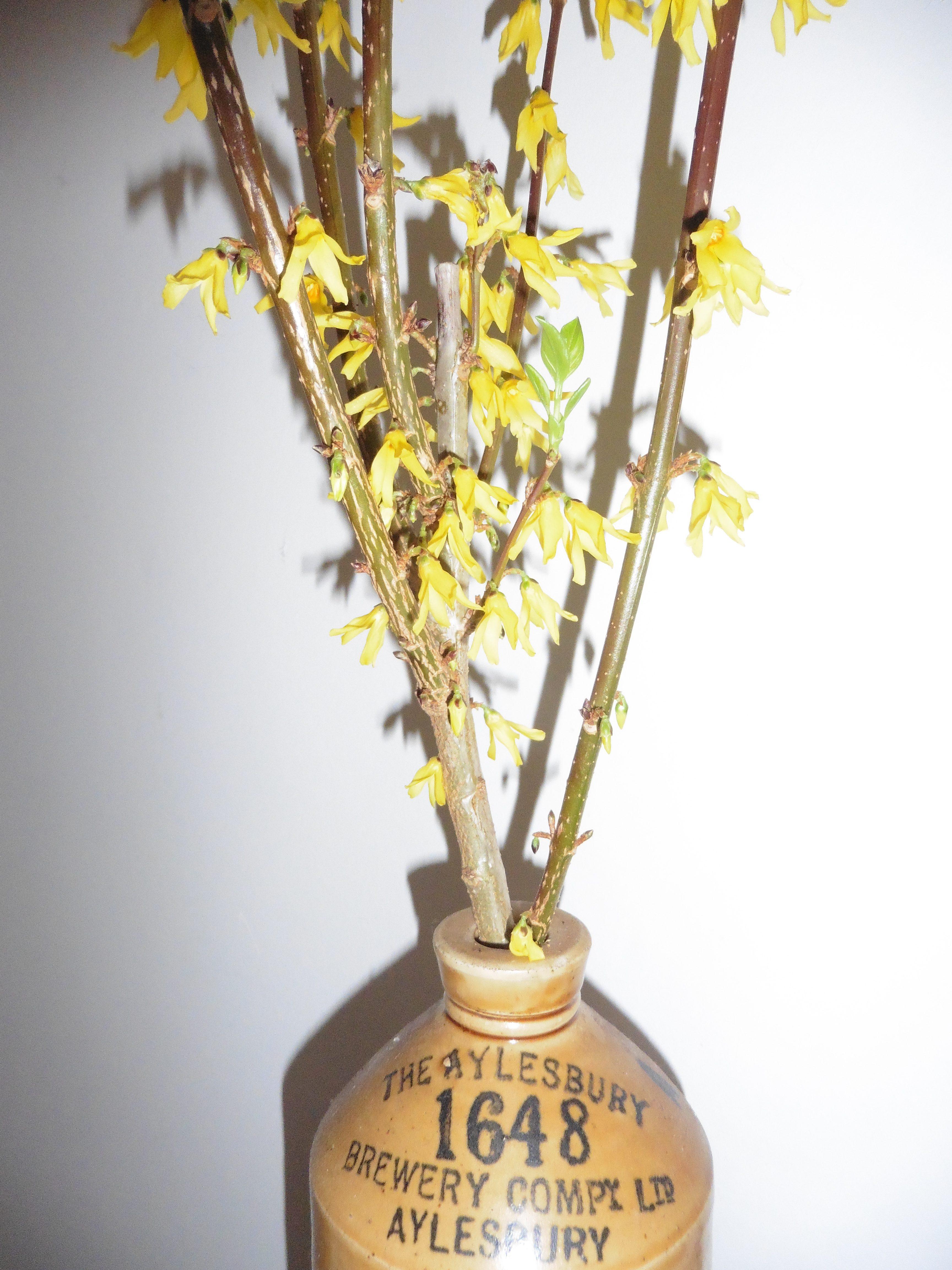 forsythia blossom