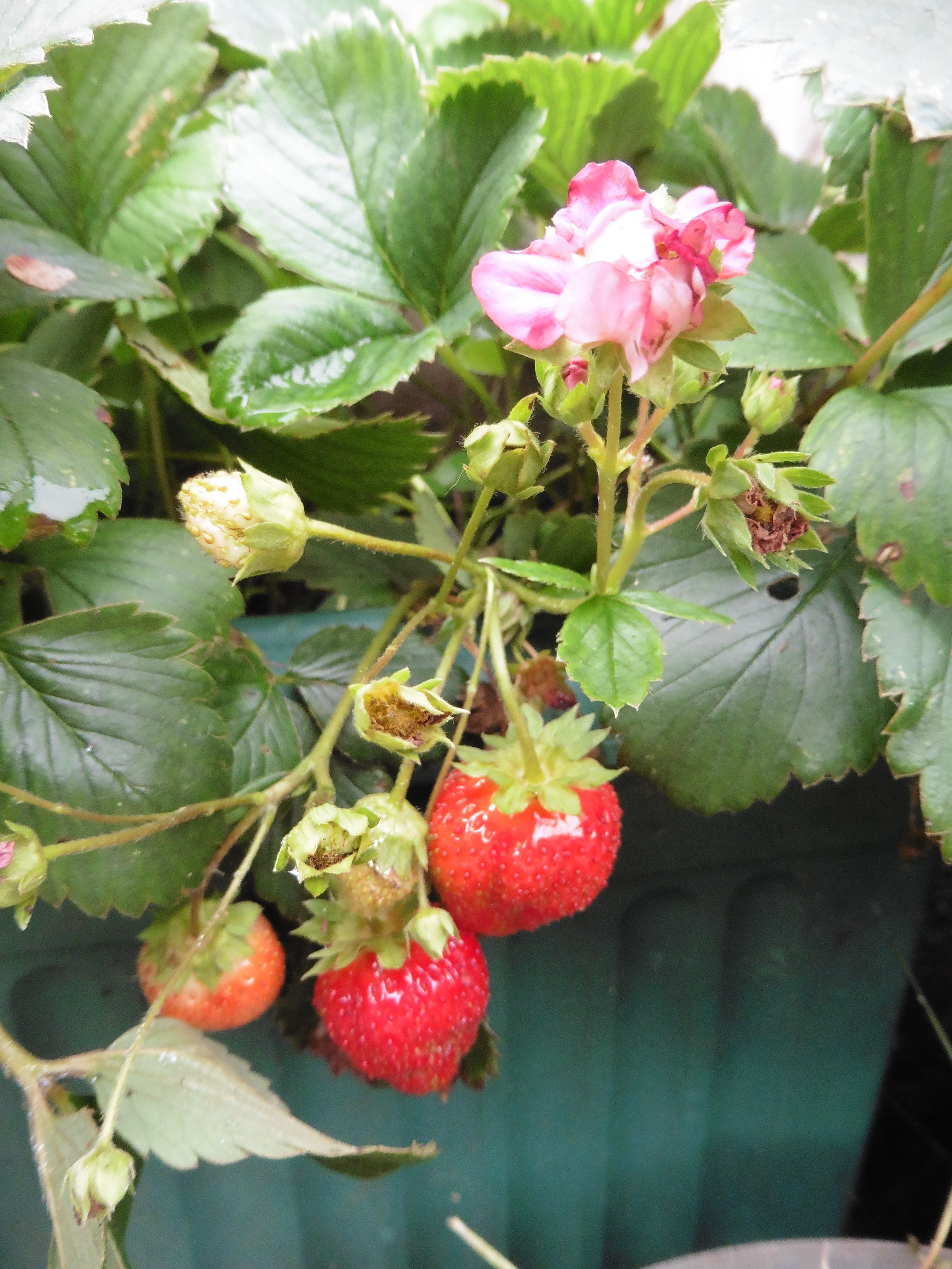strawberry flower and fruit